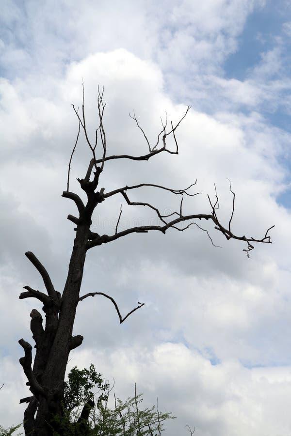 Mooie vorm van droge boomtakken, silhouetstijl op blauwe hemel stock foto