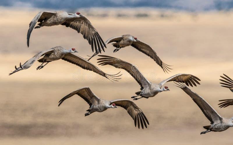Mooie vorming van vliegende sandhill kranen stock afbeeldingen