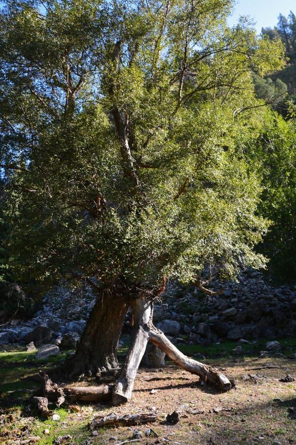 Mooie vreemde boom in de bergen stock foto's