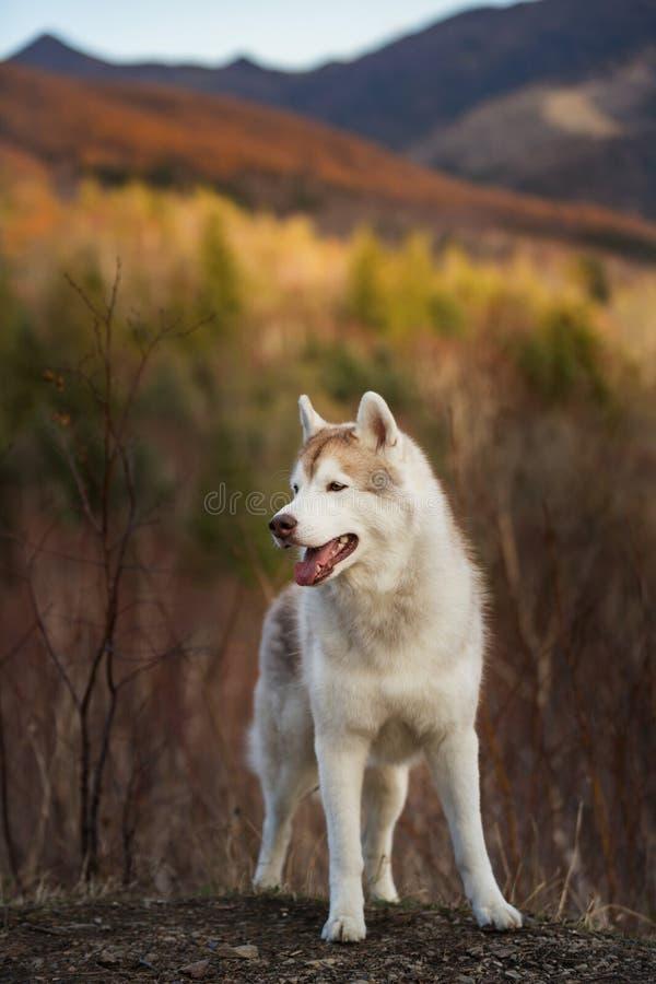 Mooie, vrije en prideful Siberische Schor hond met tonque die het duidelijk uitkomen in het bos in de recente herfst hangen stock fotografie
