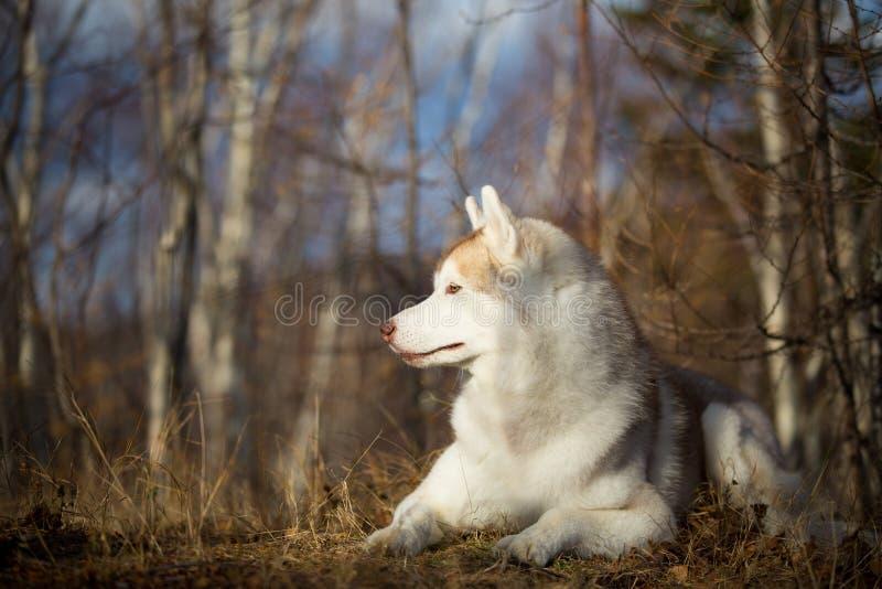 Mooie, vrije en prideful Siberische Schor hond met tonque die uit het liggen in het bos in de recente herfst hangen royalty-vrije stock foto's