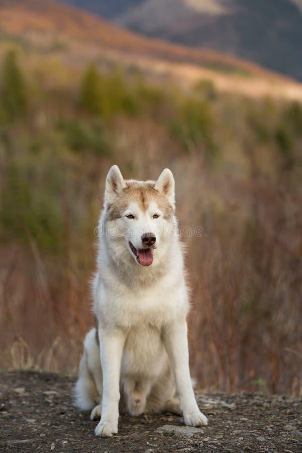 Mooie, vrije en prideful Siberische Schor hond met tonque die uit het zitten in het bos in de recente herfst hangen stock foto