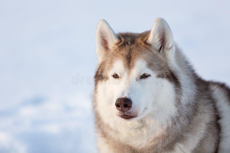 Mooie, vrije en prideful Siberische Schor hondzitting op de sneeuw in de winterbos bij zonsondergang royalty-vrije stock afbeeldingen