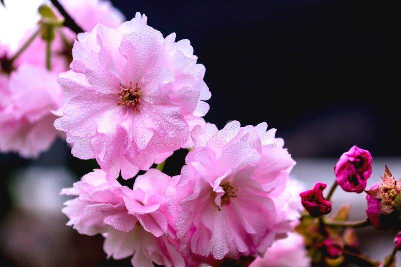 Mooie warme de bloesemsbloei van de avondkers stock foto