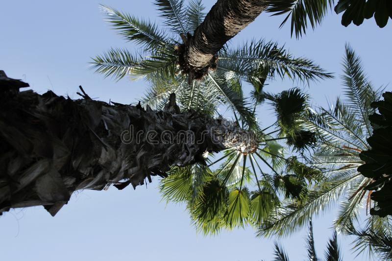 Mooie Washingtonia Filifera in Elche, Spanje stock afbeeldingen