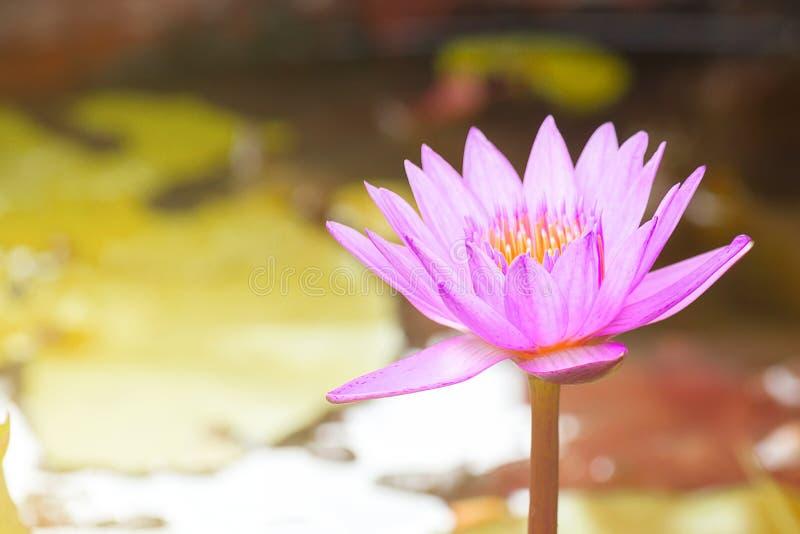 Mooie Waterlily, Roze Lotus Flower Plants In Pond met Groen stock afbeelding
