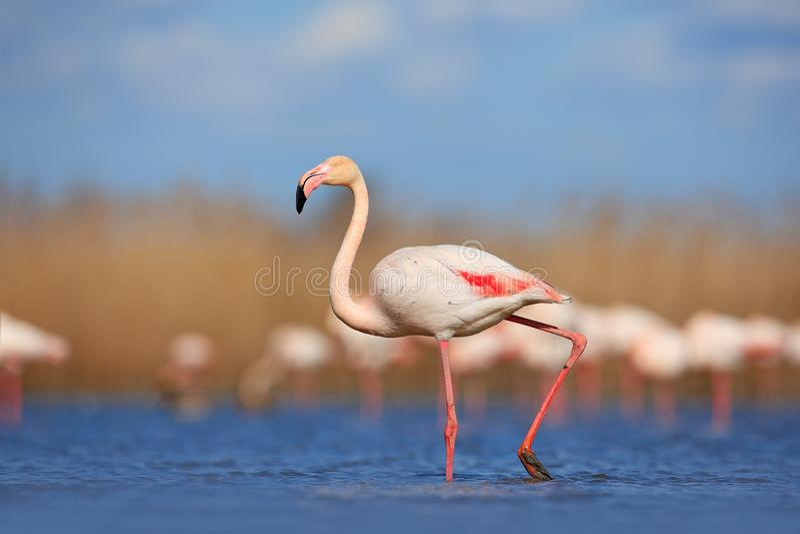 Mooie watervogel Roze grote vogel Grotere Flamingo, Phoenicopterus ruber, in het water, Camargue, Frankrijk Flamingogang in water royalty-vrije stock fotografie