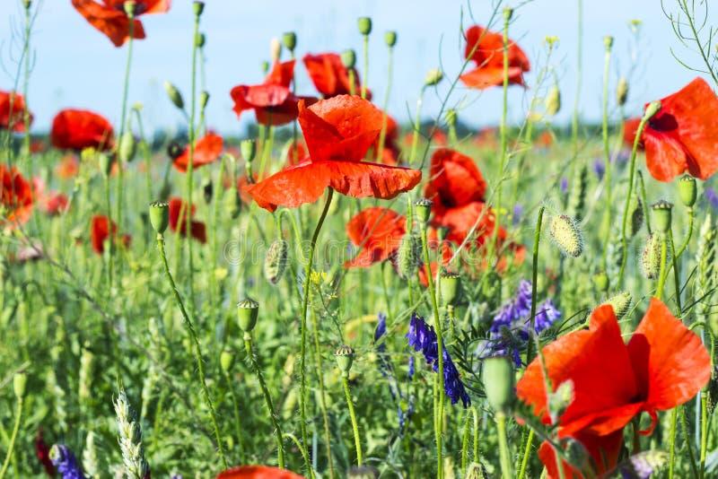Mooie weide met wilde bloemen en rode papavers, dorpslandschap met groen gebied Bloemen achtergrond stock foto