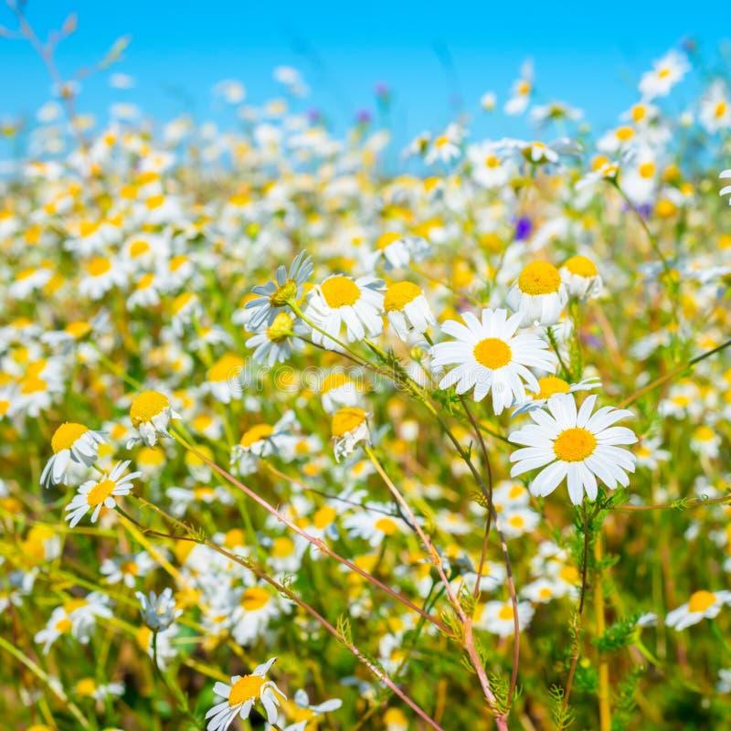 Mooie weide van groen gras en camomiles op blauwe achtergrond royalty-vrije stock afbeelding