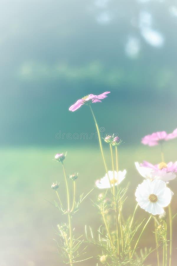 Mooie wijnoogst kosmos bloem, foto zacht of selectief gefocust royalty-vrije stock foto