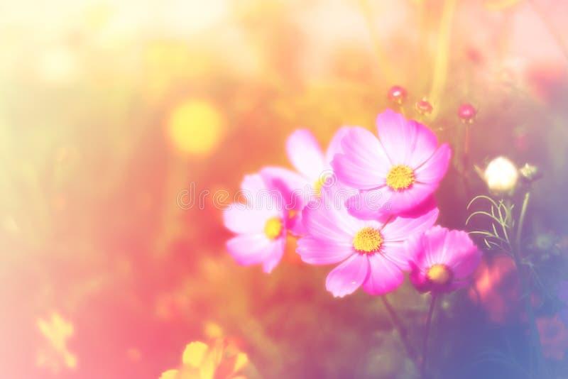 Mooie wijnoogst kosmos bloem, foto zacht of selectief gefocust stock afbeelding