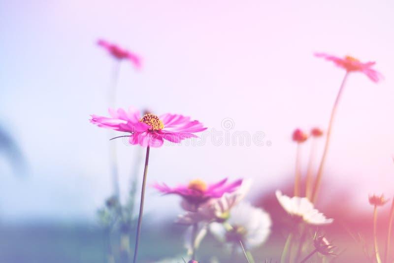 Mooie wijnoogst kosmos bloem, foto zacht of selectief gefocust royalty-vrije stock foto's