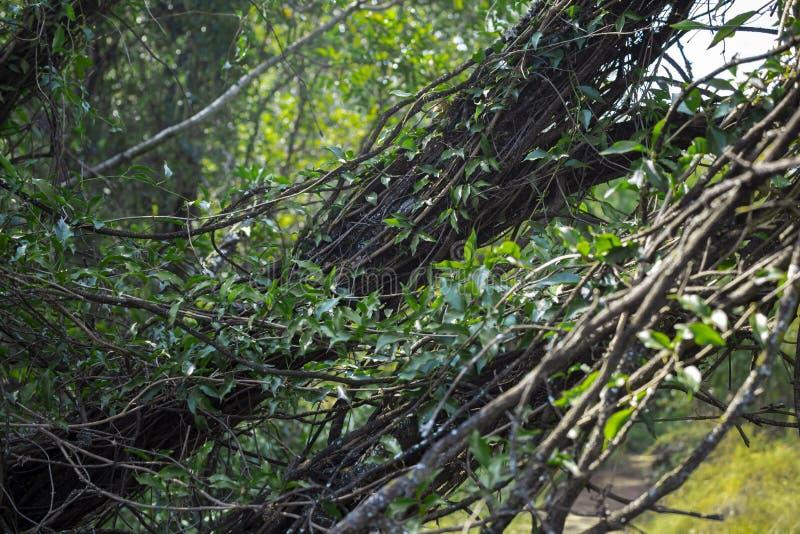 Mooie wijnstok gevulde boom met heldergroene kleuren royalty-vrije stock afbeeldingen