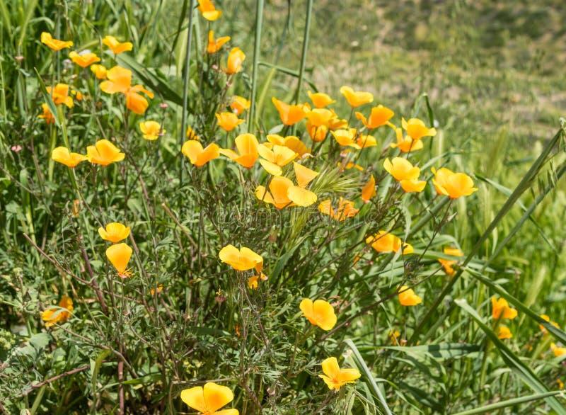 Mooie wilde bloemen - een deel van de superbloomfenomenen in de Walker Canyon-bergketen dichtbij Meer Elsinore stock afbeeldingen