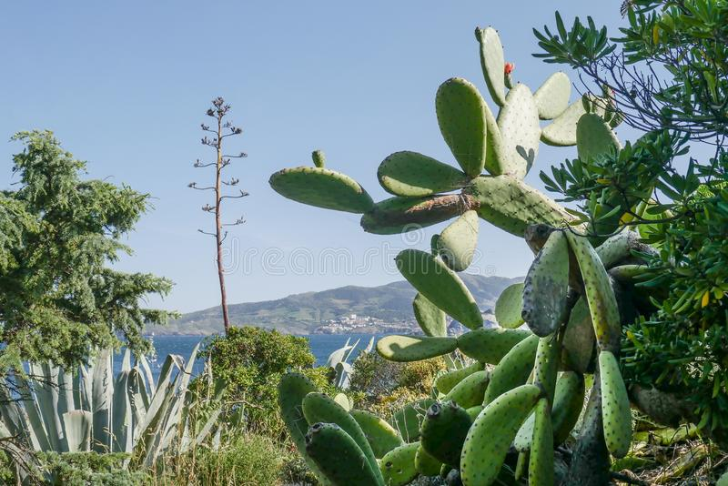 Mooie wilde cactus met blauwe overzeese achtergrond royalty-vrije stock afbeelding