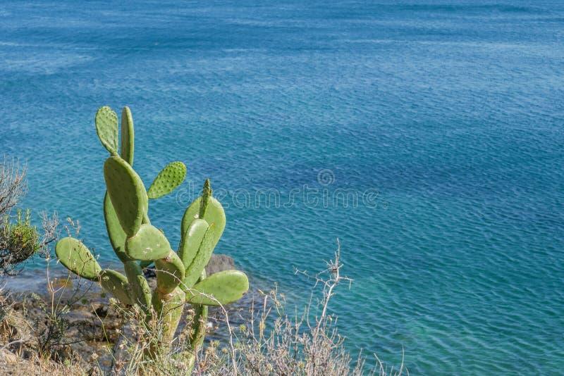 Mooie wilde cactus met blauwe overzeese achtergrond stock afbeeldingen