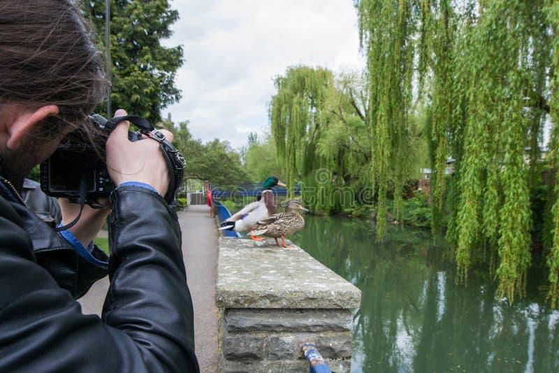 Mooie wilde eendeenden in de rivier Avon, Bad, Engeland stock foto's