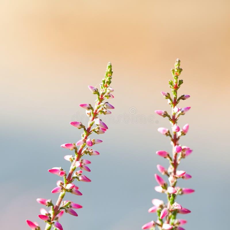 Mooie wilde installaties tot bloei komende achtergrond De heide bloeit close-up Bloeiende kleine violette bloemblaadjeinstallatie stock foto
