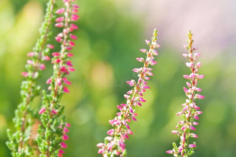 Mooie wilde installaties tot bloei komende achtergrond De heide bloeit het Roze vulgaris, zachte groene gebied van Calluna, selec stock foto