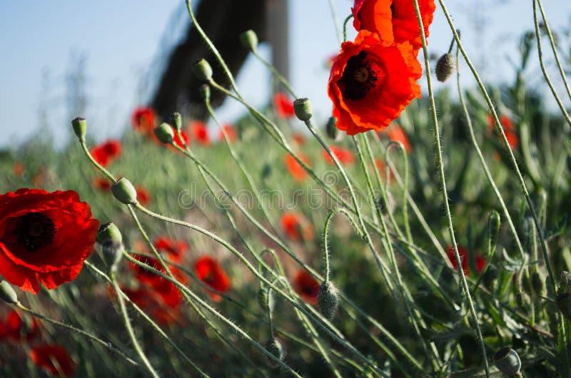 Mooie wilde papavers De lente gaat weg Desaturated achtergrond stock afbeelding