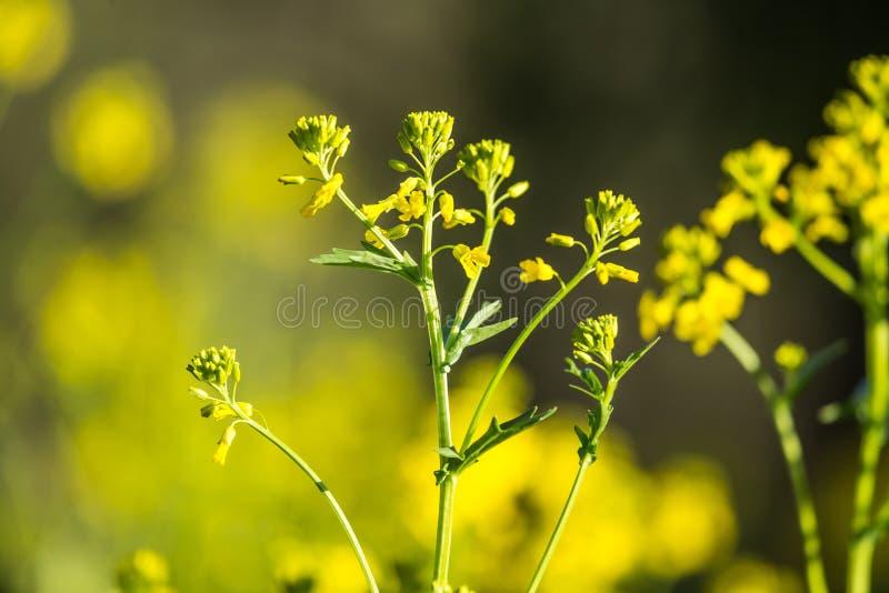 Mooie wilde raapbloemen die op het gebied tot bloei komen stock foto's
