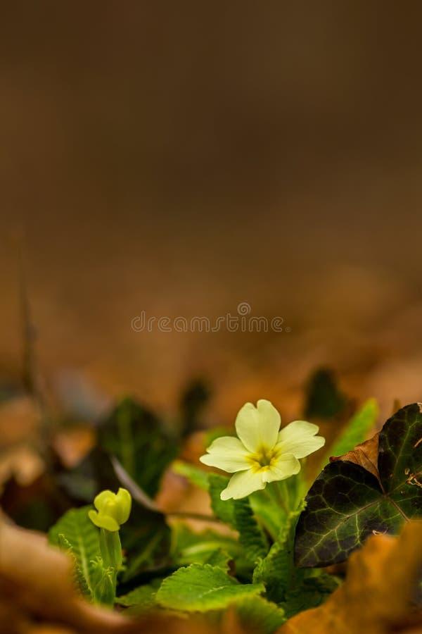 Mooie wilde sleutelbloembloemen, Primula vulgaris, in het bos stock foto's