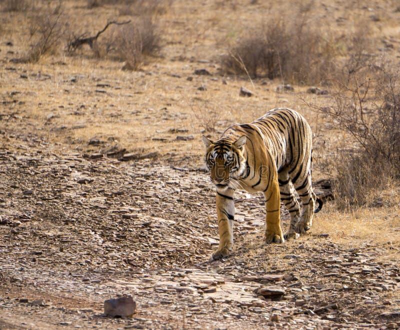 Mooie wilde tijger stock afbeeldingen