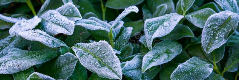 Mooie wintertijd of Kerstmisachtergrond, bevroren die laurierbladeren in ijskristallen worden behandeld stock fotografie