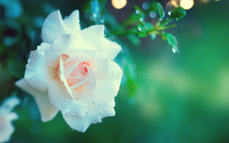 Mooie wit nam bloeiend in de zomertuin toe Witte rozenbloemen die in openlucht groeien Aard, tot bloei komende bloem stock foto's
