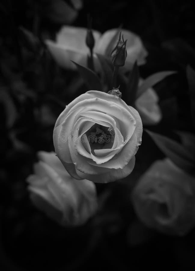 Mooie wit nam zwart-wit toe stock afbeelding