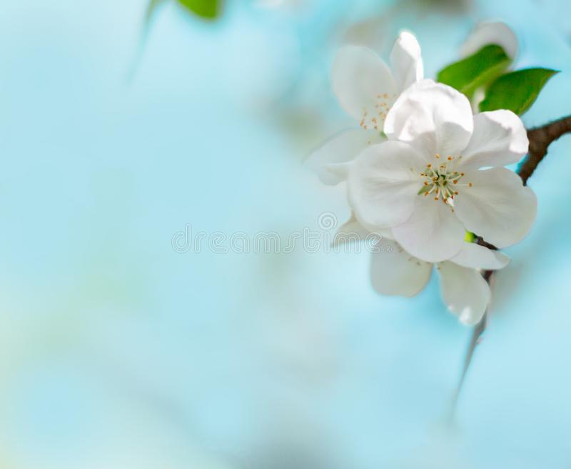 Mooie witte bloei van appelboom met vage blauwe achtergrond De lentebloemen op de zonnige dag van Pasen Ruimte voor tekst royalty-vrije stock foto