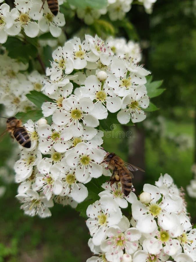 Mooie witte bloeiwijzen met het omcirkelen bijen stock foto