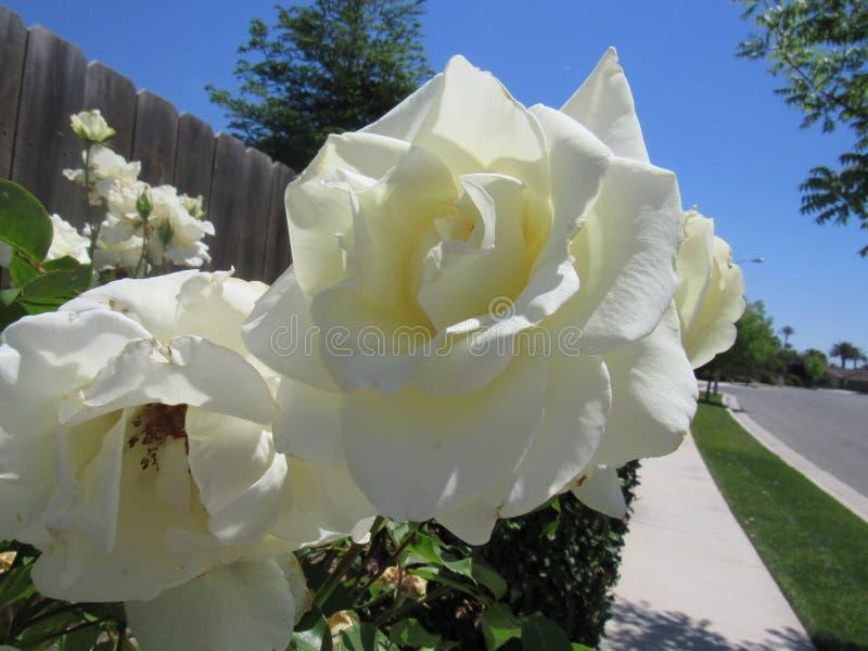 Mooie witte bloem stock foto