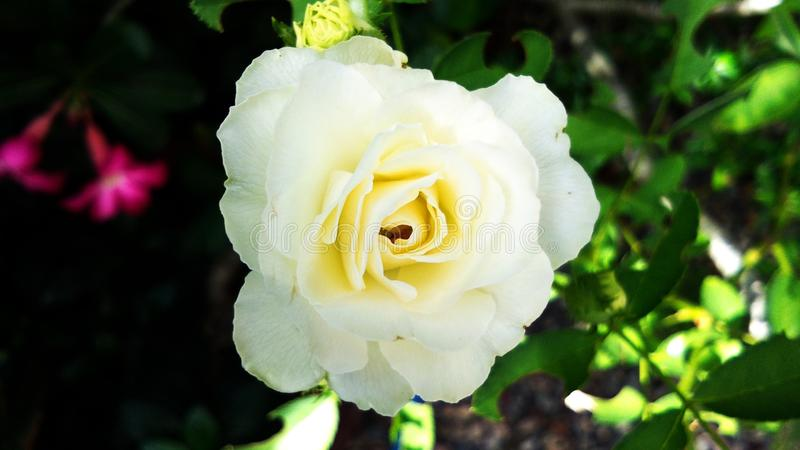 Mooie Witte Bloem royalty-vrije stock foto