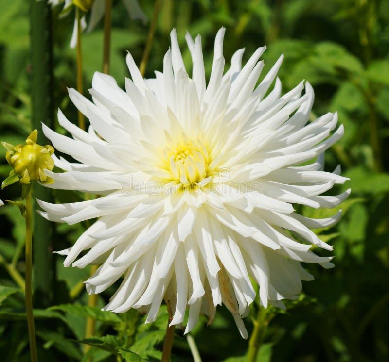Mooie witte bloem in de groene aard royalty-vrije stock afbeelding