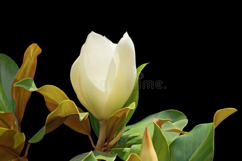 Mooie witte bloem van magnoliamagnolia grandiflora met groene die bladeren op zwarte achtergrond worden geïsoleerd royalty-vrije stock foto