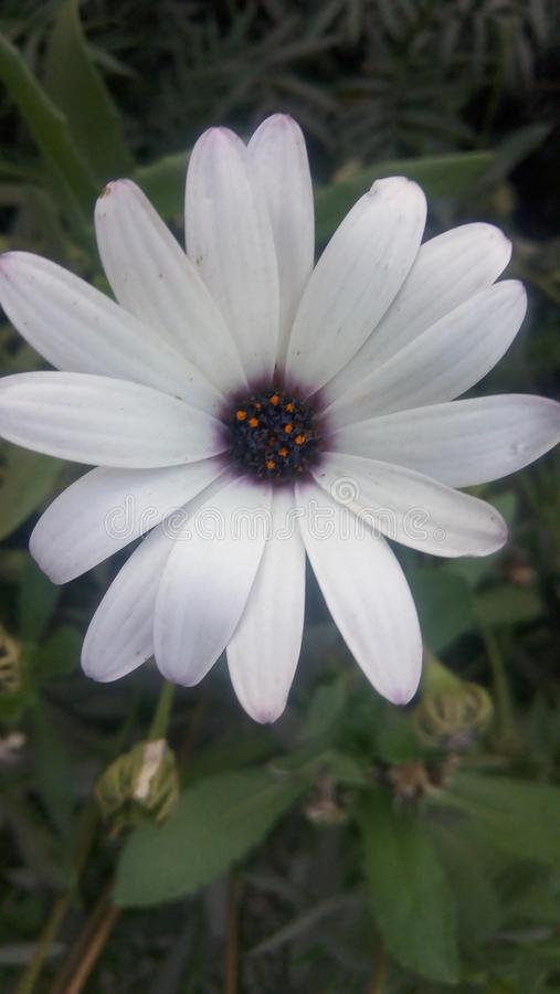 Mooie witte bloembloemblaadjes stock foto