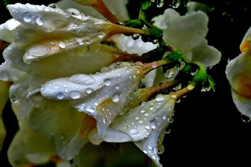 Mooie witte bloemen met waterdalingen na de regen royalty-vrije stock afbeelding