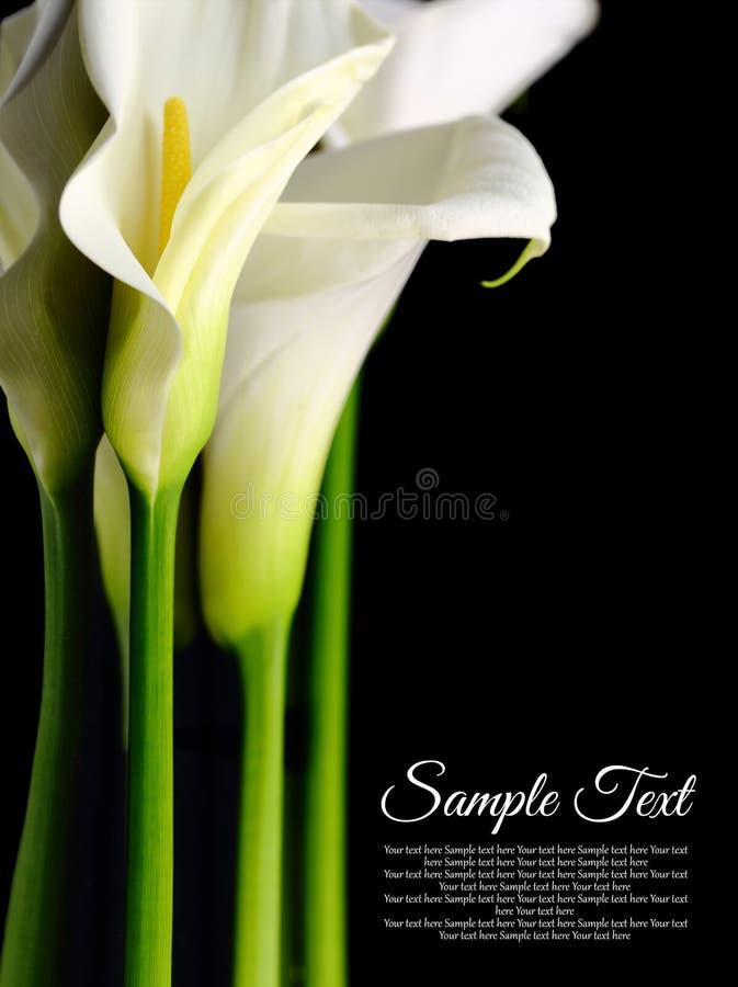 Mooie witte Calla lelies stock afbeelding