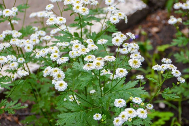 Mooie witte chrysanten in de tuin De bloemen van de herfst Vector vakantiekaart stock foto