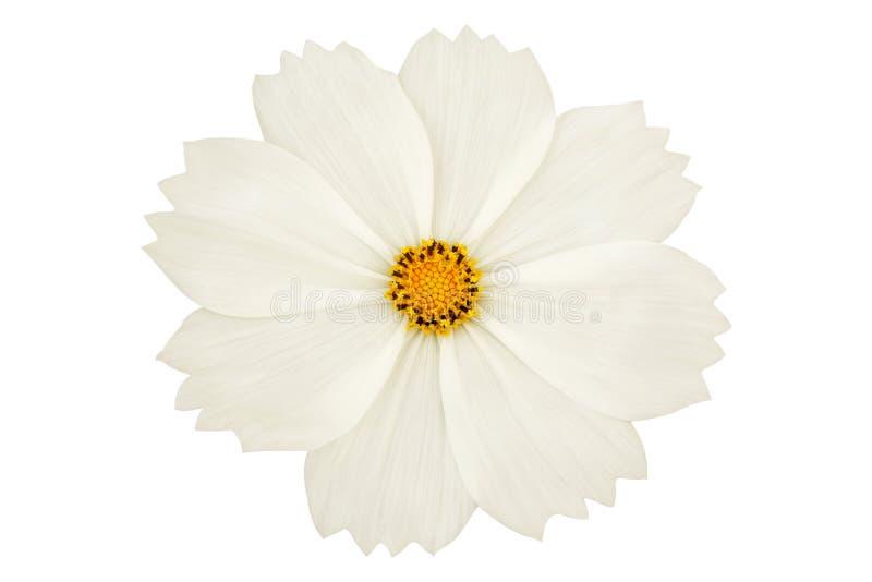 Mooie witte die kosmosbloem op witte achtergrond wordt geïsoleerd stock foto's