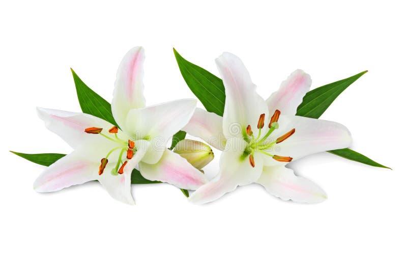 Mooie witte die Lelies met knop, met inbegrip van het knippen van weg zonder schaduw wordt geïsoleerd stock afbeeldingen