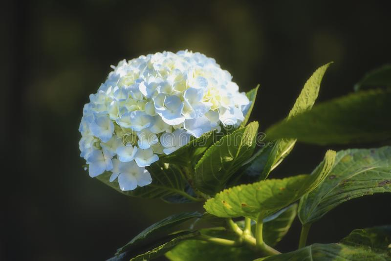 Mooie witte en blauwe hydrangea hortensia of hortensiabloem dichte omhooggaand Artistieke natuurlijke achtergrond Bloem in bloei  royalty-vrije stock afbeelding
