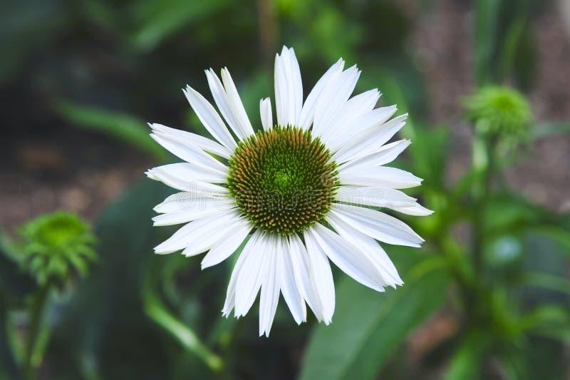 Mooie Witte en Groene Daisy Flower royalty-vrije stock foto's