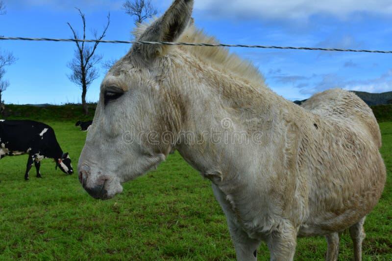 Mooie Witte Ezel die zich op een Grasgebied bevinden royalty-vrije stock fotografie
