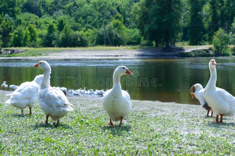 Mooie witte ganzen op een aardachtergrond Een troep van vogels rust op de rivierbank stock afbeelding