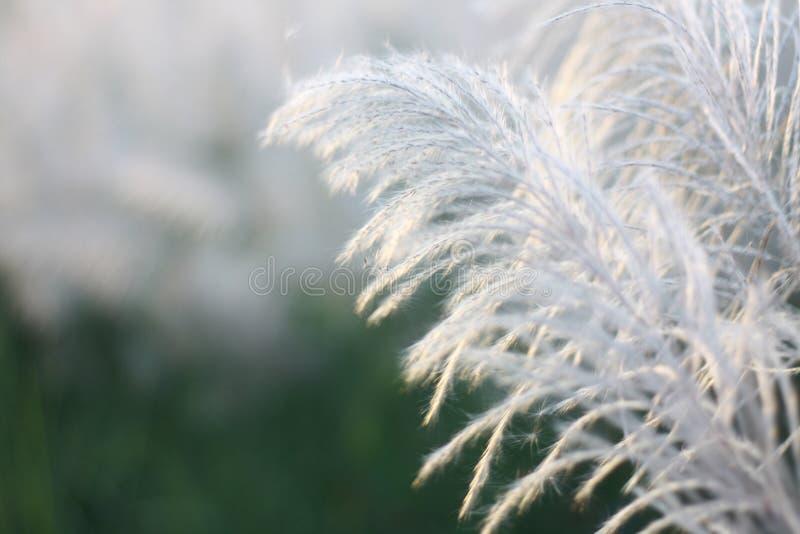 Mooie witte grass†‹in de aard stock afbeelding