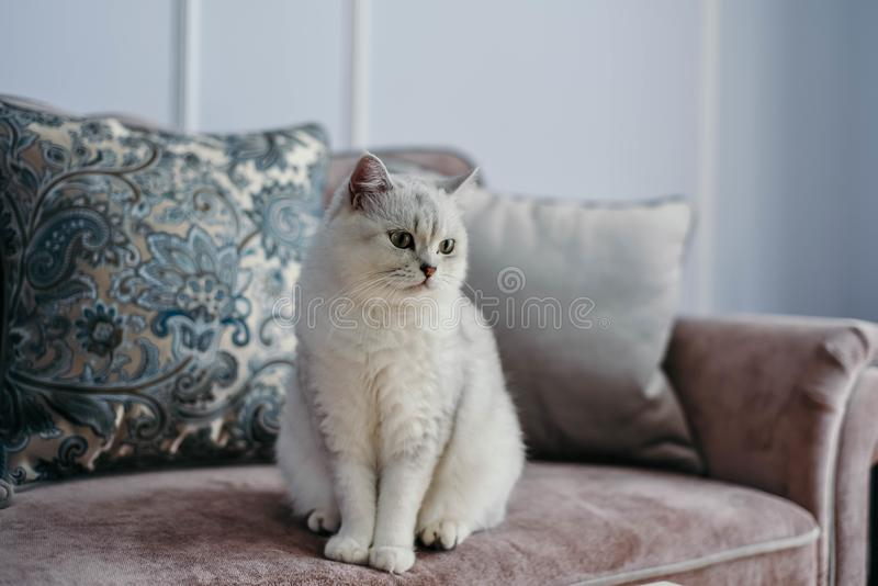 Mooie witte grijze kat op cauch in klassiek Frans huisdecor n royalty-vrije stock fotografie