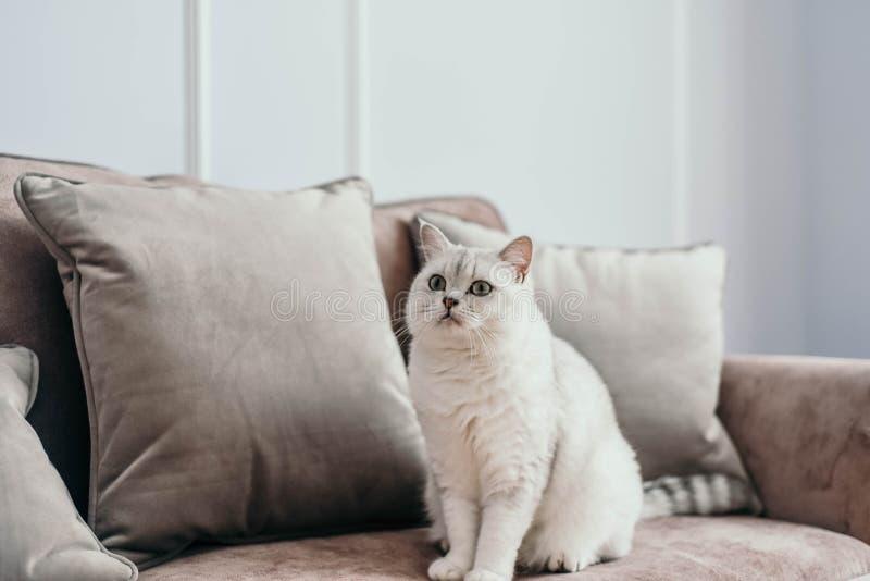 Mooie witte grijze kat op cauch in klassiek Frans huisdecor n stock afbeeldingen