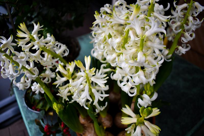 Mooie Witte Hyacinth Garden Green Small Summer-Bloem stock foto's